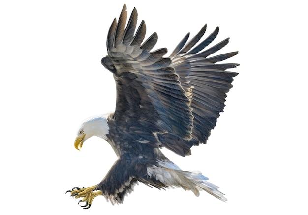 Águila calva swoop mano dibujar y pintar color en blanco ...