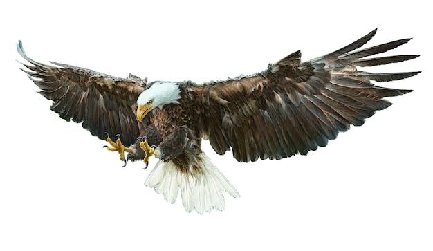 El águila calva volando mano alada dibujar y pintar color ...