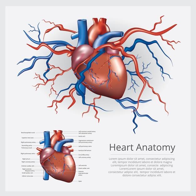 Anatomía del corazón humano ilustración vectorial Vector Premium