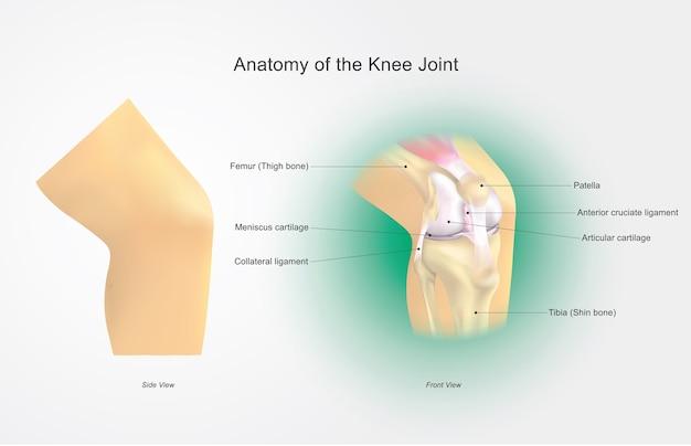 Anatomía de la articulación de la rodilla   Descargar Vectores Premium