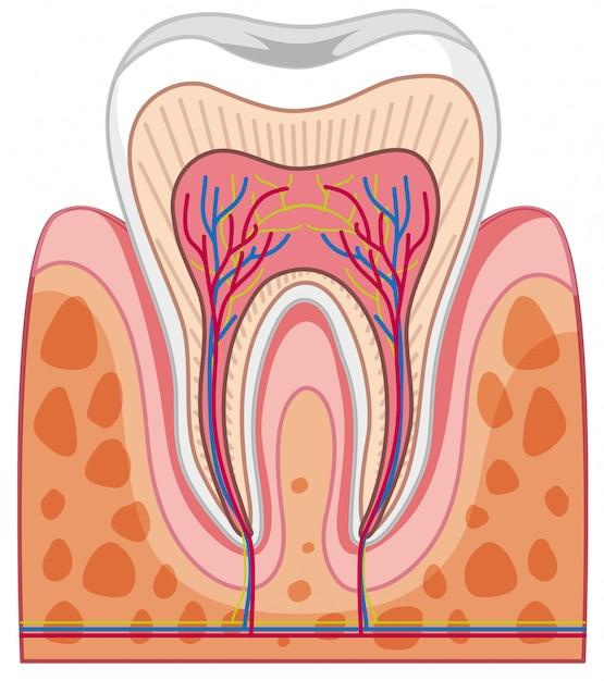 Anatomía del diente humano | Descargar Vectores Premium