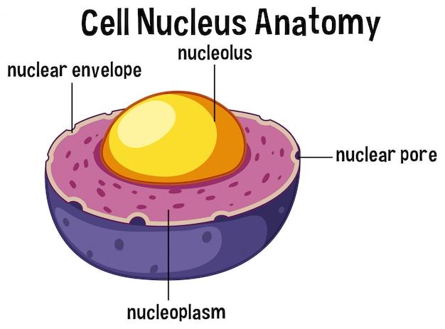 Anatomía del núcleo de células animales | Descargar Vectores Premium