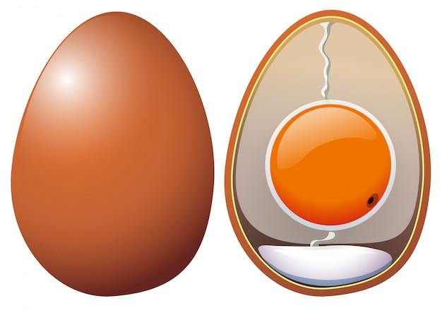 Una anatomía de huevos de pollo vector gratuito