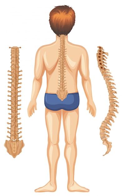 Anatomía humana de la columna vertebral en el fondo blanco ...