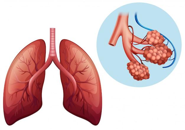 Anatomía humana del pulmón humano | Descargar Vectores Premium