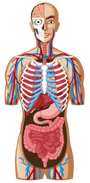 Anatomía humana con diferentes sistemas | Descargar Vectores Premium