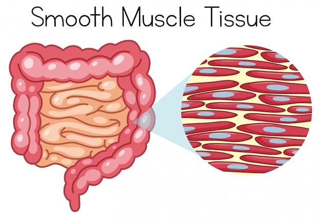 Anatomía del tejido muscular liso | Descargar Vectores Premium