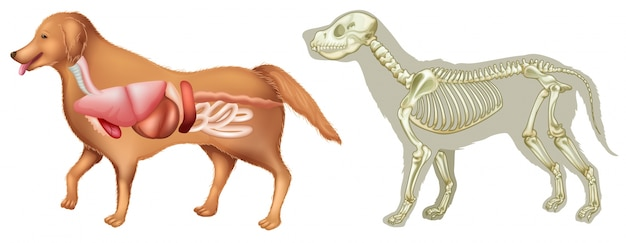 Anatomía y esqueleto de un perro   Descargar Vectores Premium