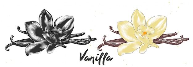 Boceto dibujado mano de flor de vainilla Vector Premium
