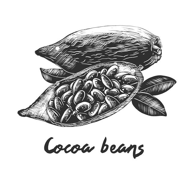 Boceto dibujado a mano de granos de cacao en monocromo Vector Premium