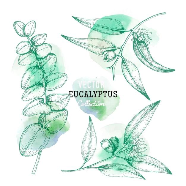Bocetos de planta de eucalipto, flor en una rama con hojas en estilo grabado eucalyptus set. Vector Premium