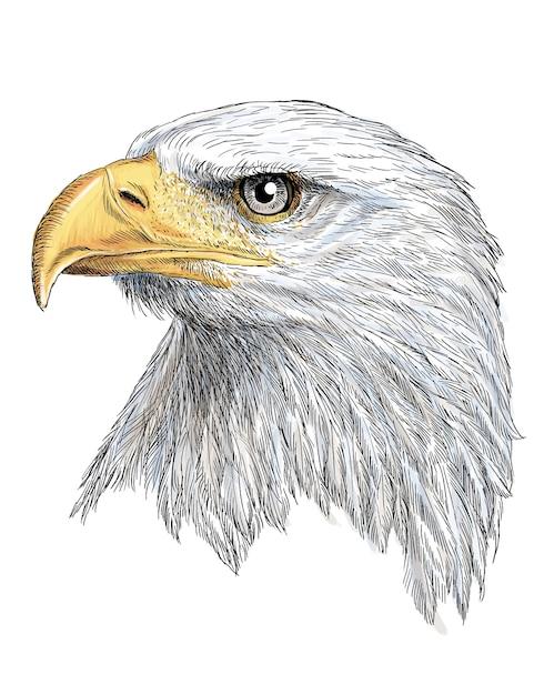 Cabeza de águila calva mano dibujar y pintar en blanco | Descargar ...