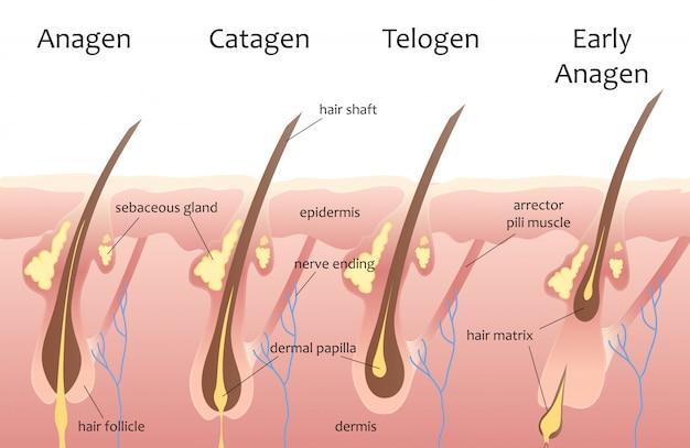Cabeza humana ciclo de crecimiento del cabello Vector Premium