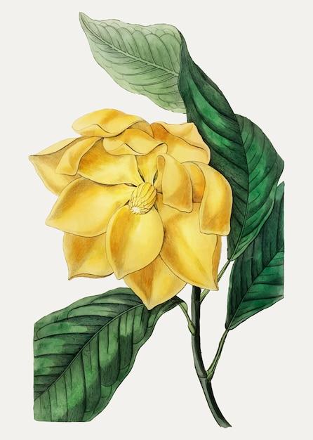 Candelabros de magnolia vector gratuito