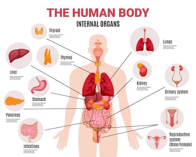 Cartel infográfico de órganos internos humanos vector gratuito