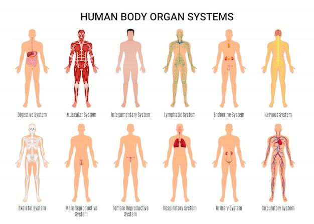 Cartel del personaje de los sistemas de órganos del cuerpo humano vector gratuito