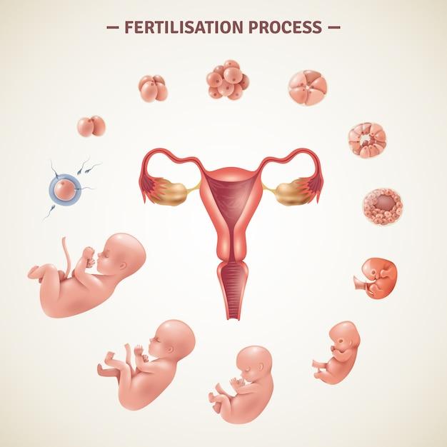 Cartel del proceso de fertilización humana vector gratuito