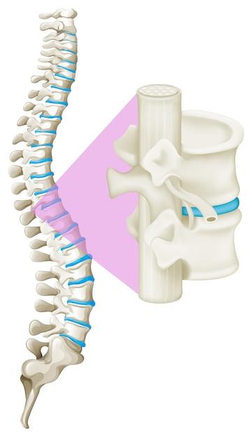 Cerrar el hueso de la columna vertebral | Descargar Vectores Premium