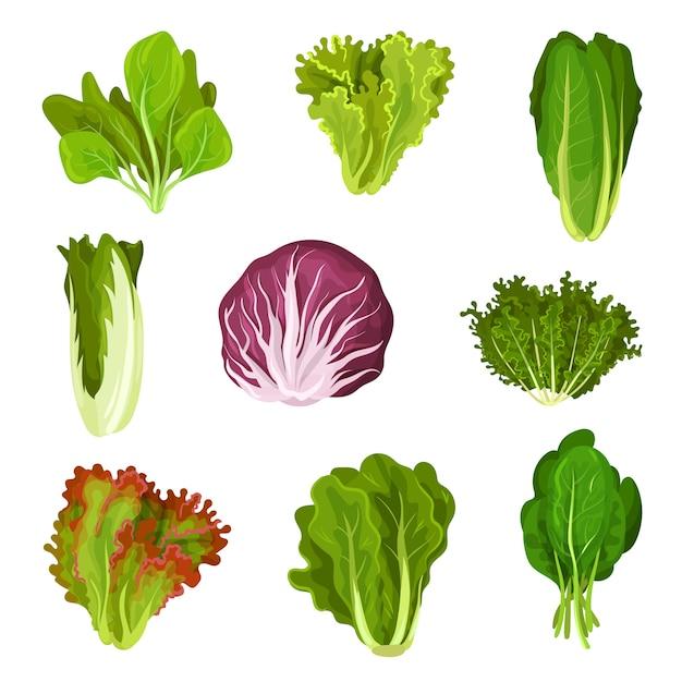Colección de hojas frescas de ensalada, achicoria, lechuga, lechuga romana, col rizada, col, acedera, espinacas, mizuna, comida vegetariana orgánica saludable ilustración Vector Premium
