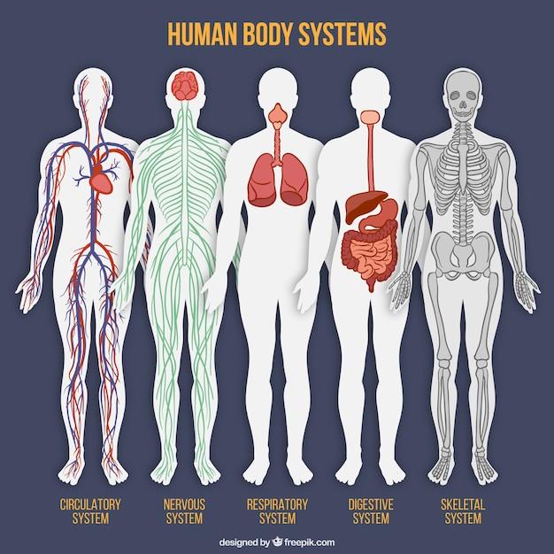 Colección de sistemas del cuerpo humano vector gratuito