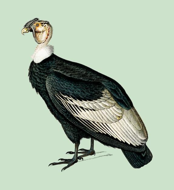 Cóndor andino (vultur gryphus) ilustrado por charles dessalines d'orbigny (1806-1876). vector gratuito