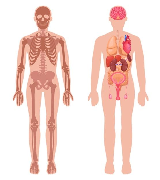Conjunto de anatomía humana vector gratuito