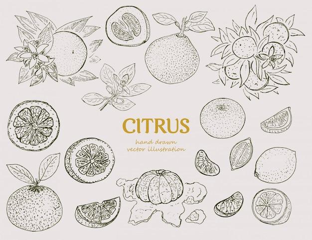 Conjunto botánico cítrico dibujado a mano vector gratuito
