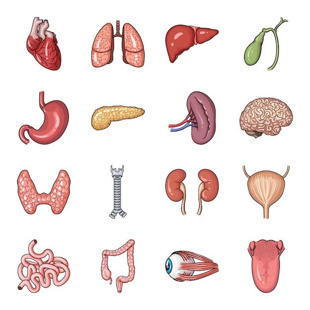 Conjunto de dibujos animados de órganos humanos icono. conjunto de dibujos animados de cuerpo aislado anatomía icono. ilustración órgano humano. Vector Premium