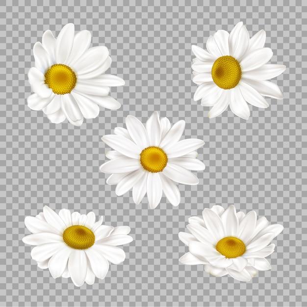 Conjunto de flores de manzanilla realista vector gratuito