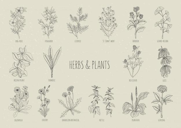 Conjunto de hierbas colección dibujada a mano plantas medicinales, botánicas y curativas aisladas. contorno Vector Premium