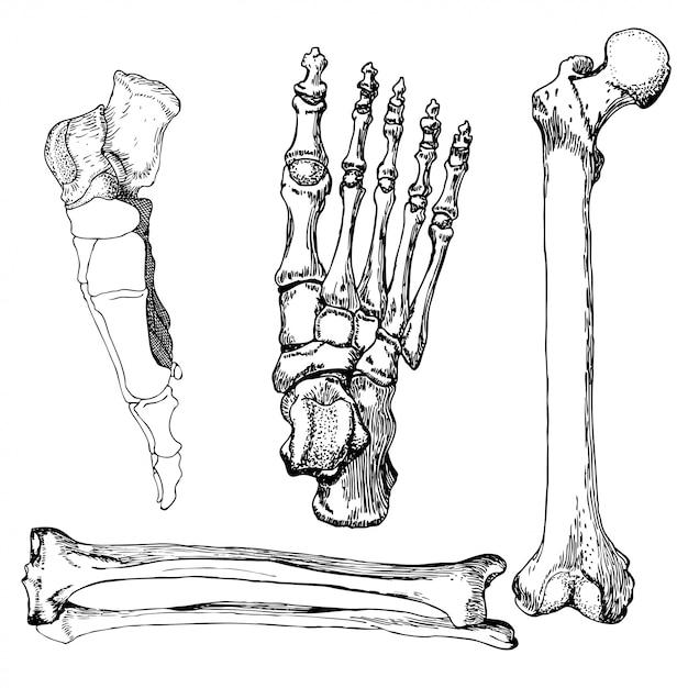 huesos de la pierna y el pie