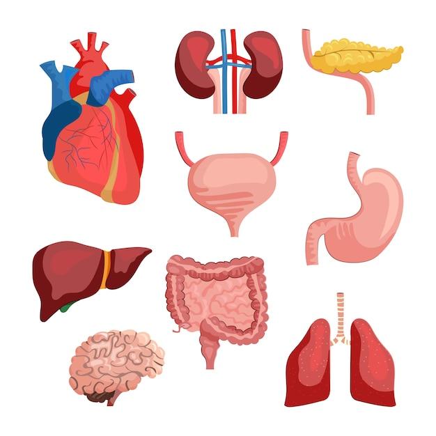 Conjunto de órganos internos vector gratuito