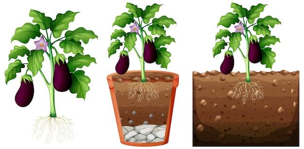 Conjunto de planta de berenjena con raíces aisladas sobre fondo blanco. vector gratuito