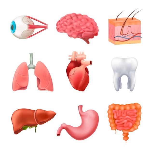 Conjunto realista de anatomía de órganos humanos vector gratuito