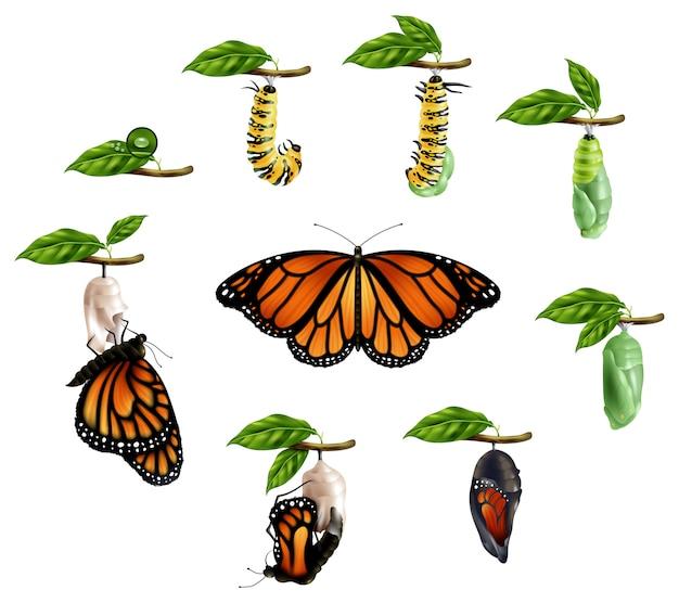 Conjunto realista de ciclo de vida de mariposa vector gratuito