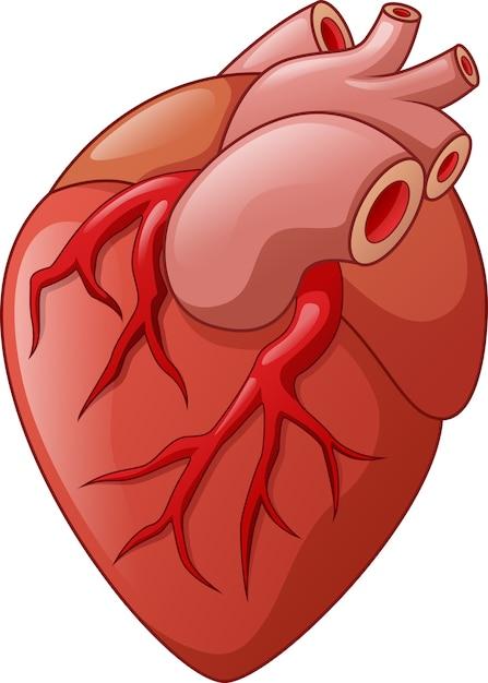 Corazón humano aislado | Descargar Vectores Premium