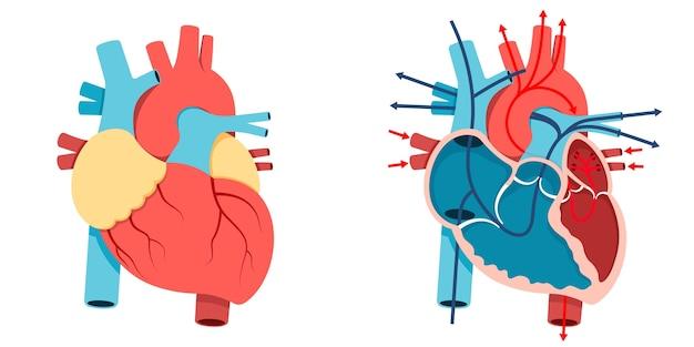 Corazón humano y flujo sanguíneo Vector Premium
