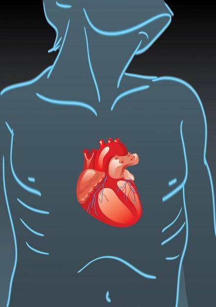 Cuerpo humano con órganos internos | Descargar Vectores Premium