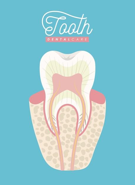 Cuidado dental de la anatomía del diente en el cartel de color ...