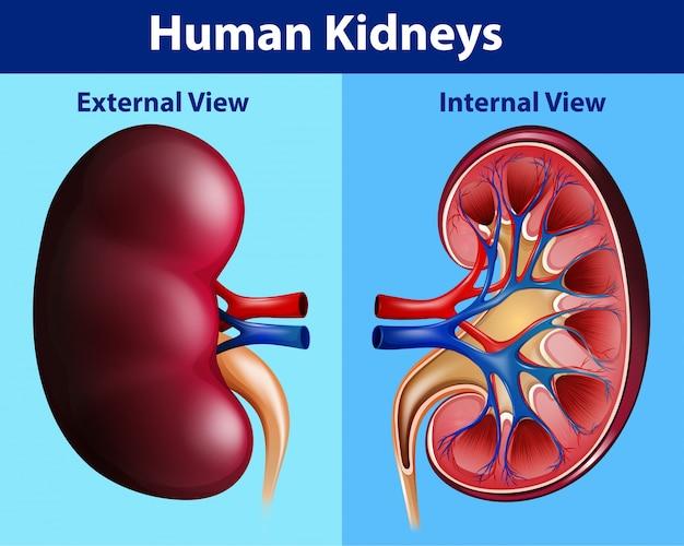 Diagrama de anatomía humana con riñones | Descargar Vectores Premium