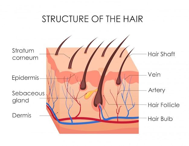 Diagrama de cabello humano. pedazo de piel humana y toda la estructura del cabello sobre el fondo blanco. tratamiento médico de la calvicie, concepto de depilación. Vector Premium