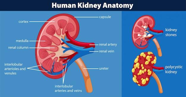 Diagrama de anatomía del riñón humano   Descargar Vectores Premium
