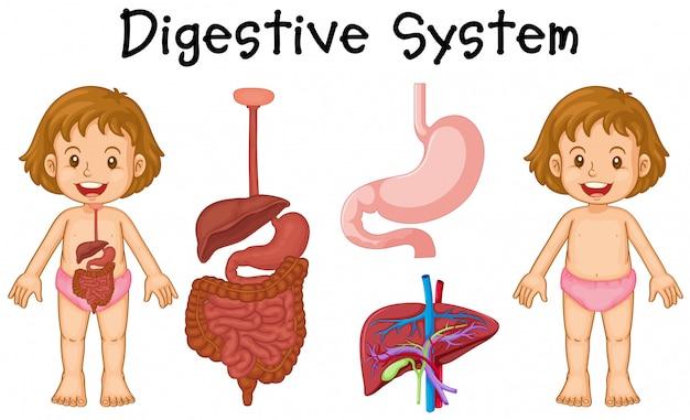 Diagrama de chica y sistema digestivo   Descargar Vectores Premium