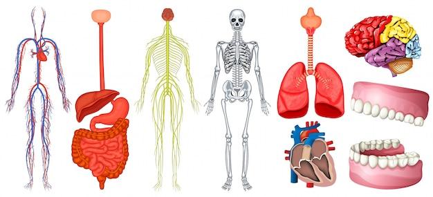 Diagrama de la ilustración de la anatomía humana   Descargar ...