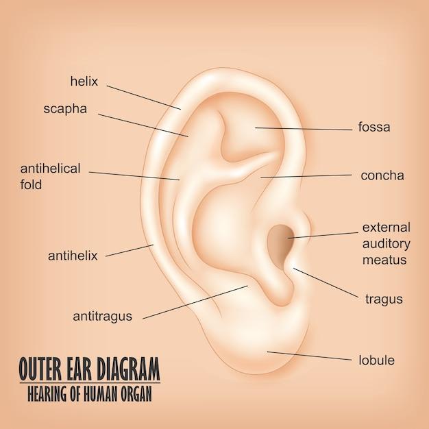 Diagrama del oído externo, audición del órgano humano | Descargar ...