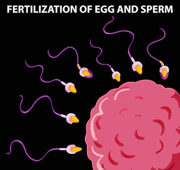 Diagrama mostrando la fertilización del óvulo y el esperma ...