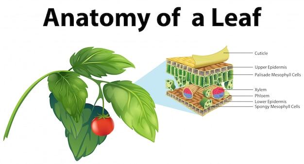 Diagrama que muestra la anatomía de una hoja. vector gratuito