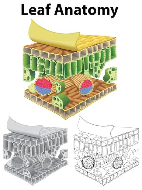Diagrama que muestra la anatomía de la hoja en tres bocetos ...