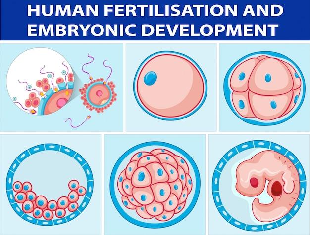 Diagrama que muestra la fertilización humana y el desarrollo ...