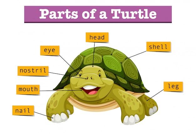 Diagrama que muestra partes de tortuga vector gratuito